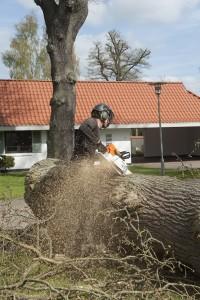 Egetræ fældes i Odense