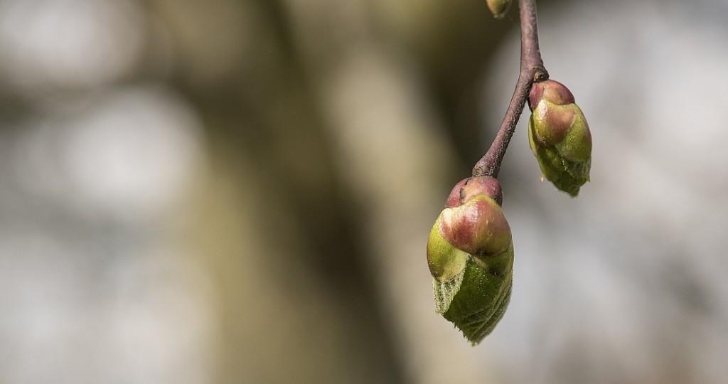 Rosener Træpleje giver altid sikker træfældning. Peter Rosener har speciale i vanskelige træer.