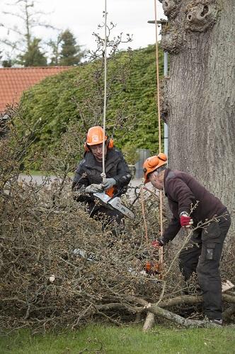 Træfældning egetræ Odense