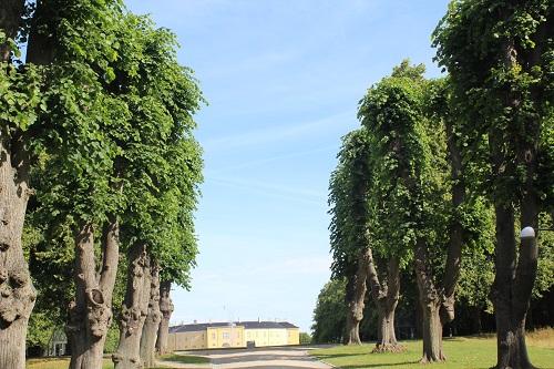 Beskæring træer i allé