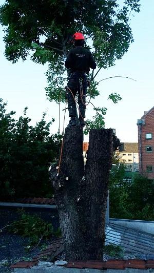 Fældning af vanskeligt træ.