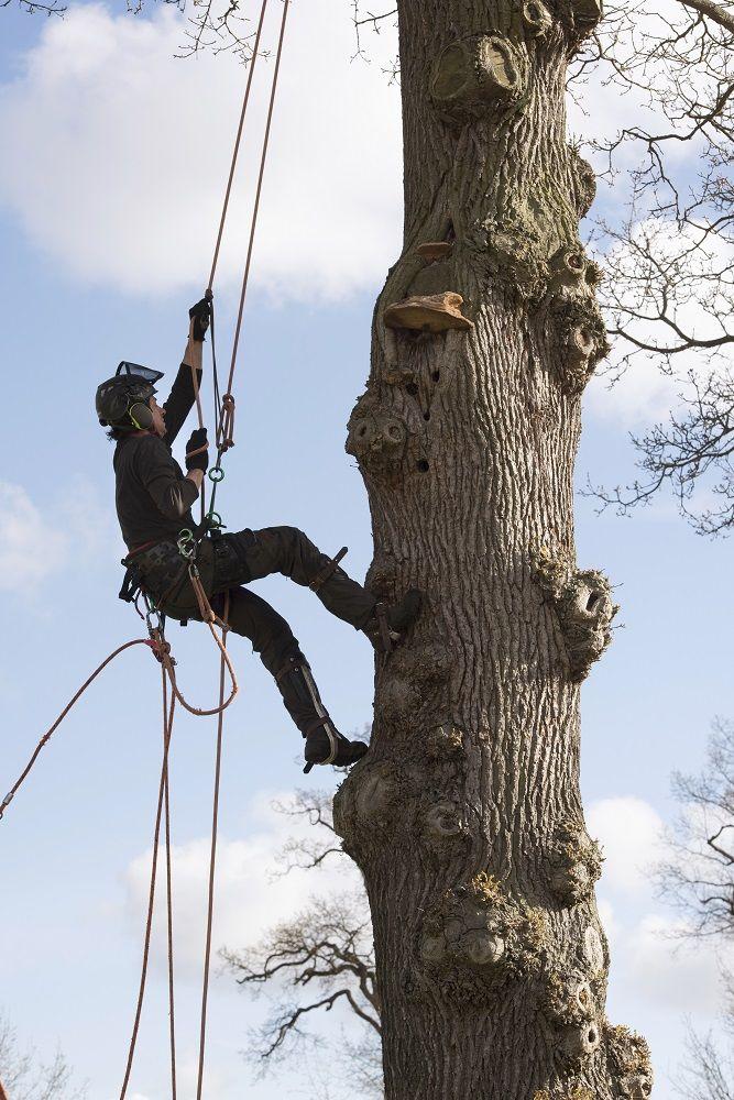 Træfældning klatring
