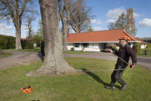 Træfældning egetræ i Odense