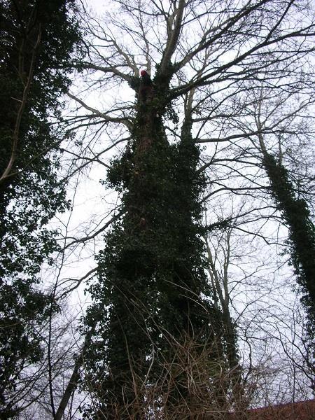 Højt træ træfældning